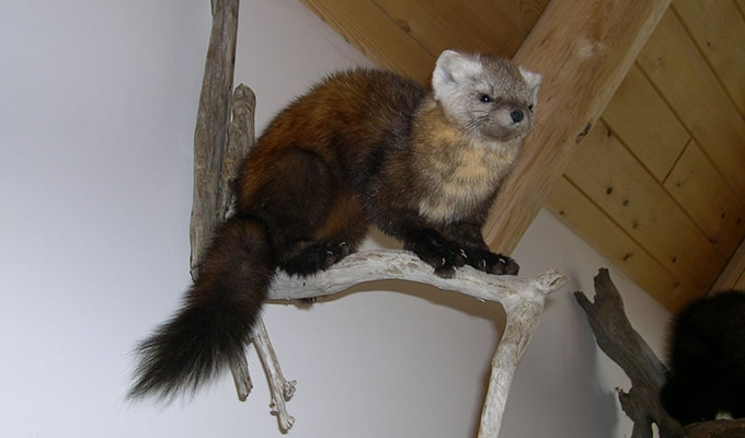 taxidermy animal mounts